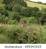 Purple Flowering Wild Foxglove...