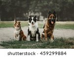 Stock photo three dog sitting together ourdoor german shepherd sheltie and border collie dogs 459299884