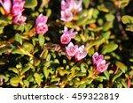 Small photo of Blossoms of the alpine azalea (Kalmia procumbens).