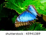 a blue morph butterfly with it... | Shutterstock . vector #45941389