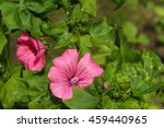 Two Pink Mallow Flowers With...