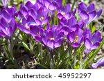 crocus flowers | Shutterstock . vector #45952297