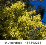 Small photo of Flinders Range wattle (Acacia iteaphylla) widely cultivated in the southern parts of Australia popular as an ornamental species,with soft yellow flowers in late winter adds fragrance to the garden.
