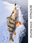 Striped perch bit the jig lure in cold winter day - stock photo