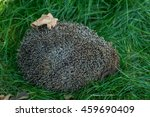 Hedgehog Curled Up On The Lawn