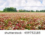 Large Field With Blossoming...