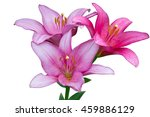 Three Fresh Pink Lilies With...