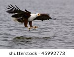 African Fish Eagle Ready To...