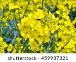 rapeseed  brassica napus .... | Shutterstock . vector #459937321