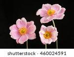 three japanese anemone flowers... | Shutterstock . vector #460024591