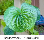 Small photo of air potato vine leaf closeup