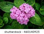 Pink Hydrangea Flowers On...