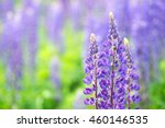 Blooming Lupine Flowers. A...