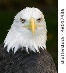 American Bald Eagle  Haliaeetus ...