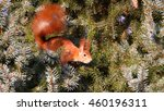 curious squirrel on fir tree | Shutterstock . vector #460196311
