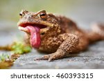 Common Toad  Bufo Bufo  With...