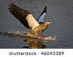 Egyptian Goose Landing In...