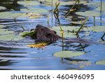Beaver Swimming At Isle Royale