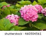 Blossom Pink  Hydrangeas