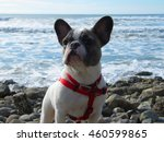 french bulldog at the beach | Shutterstock . vector #460599865