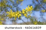 Small photo of Australia Winter and spring bright yellow wildflowers Acacia fimbriata commonly known as the Fringed Wattle or Brisbane Golden Wattle