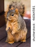 cute fox squirrel begging for... | Shutterstock . vector #46064581