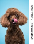 Poodle Portrait In Blue...