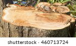 Logged Tree Stump