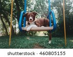 Puppy Border Collie In The...