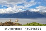 Dall Sheep overlook Tunragain Arm near Anchorage Alaska.