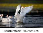 Group Of White Domestic Geese...