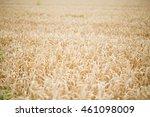 field of rye. wheat of field. | Shutterstock . vector #461098009
