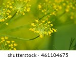 Close Up Of Blooming Dill...