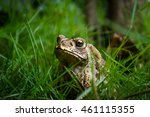 A Toad In The Grass