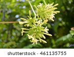Beautiful Flowers Of Papaya On...