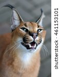 Small photo of Caracal African golden cat smile