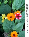 Small photo of Thunbergia alata alias Black eyed Susan vine with trellis and loach flower in the park