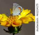Small photo of Dotted Blue Butterfly nectars on Coreopsis, aka Tickseed