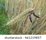 Ergot Fungus  Claviceps Purpurea