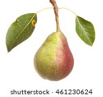 pears on a branch with leaves...   Shutterstock . vector #461230624