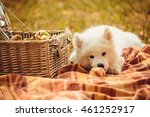 samoyed puppy eating peach on... | Shutterstock . vector #461252917