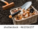 Tulip  Bulbs Stored In The...