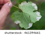 Small photo of Closeup of vine grape leaf affected by Downy Mildew (Plasmopara vitikola), rear view