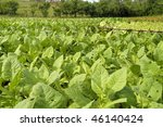 Tobacco field in Cuba just before the harvest - stock photo
