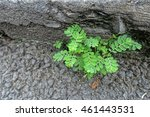 A Small Tamarind Plant Growing...