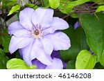 Purple Clematis flower - stock photo