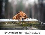 dog breed beagle walking in... | Shutterstock . vector #461486671