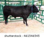 Bull. Aberdeen Angus Breed