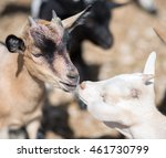 close up view of kissing goats. | Shutterstock . vector #461730799