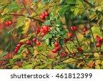 Briar Fruit  Wild Rose Hip...